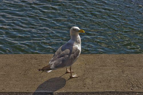 seagull water coast