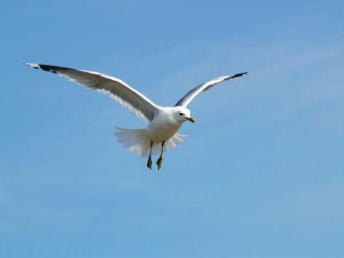 seagull himmel tern