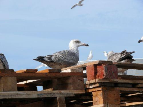 seagull scheveningen bird