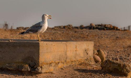 seagull italy animal