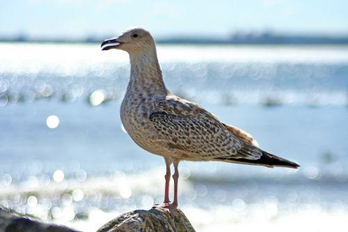 seagull bird sea