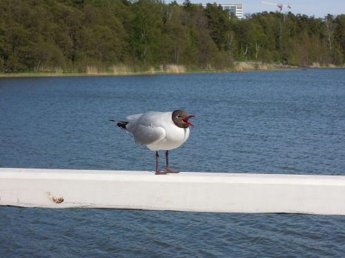 seagull laughing gull sea