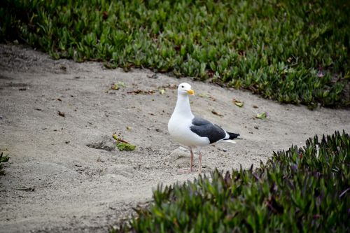 Seagull Among The Iceplant