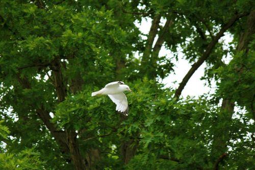 seagull,bird,white,flying,green,trees,summer,spring,season,seagull amongst trees