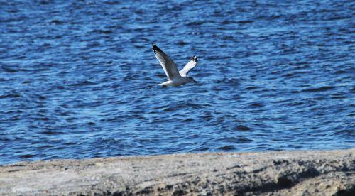 Seagull Flying Over Salton Sea