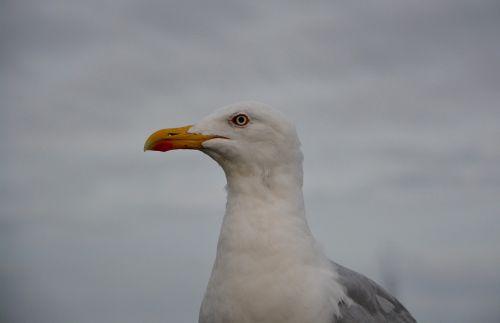 seagull head profile long-billed