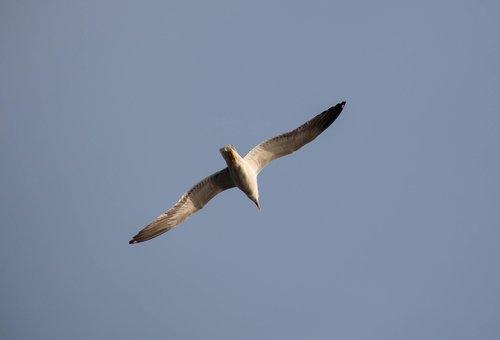 seagull in flight  seagull  tern