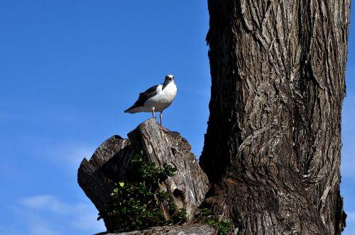 Seagull On Tree Trunk