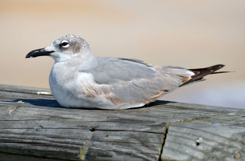 Seagull Resting On A Pier