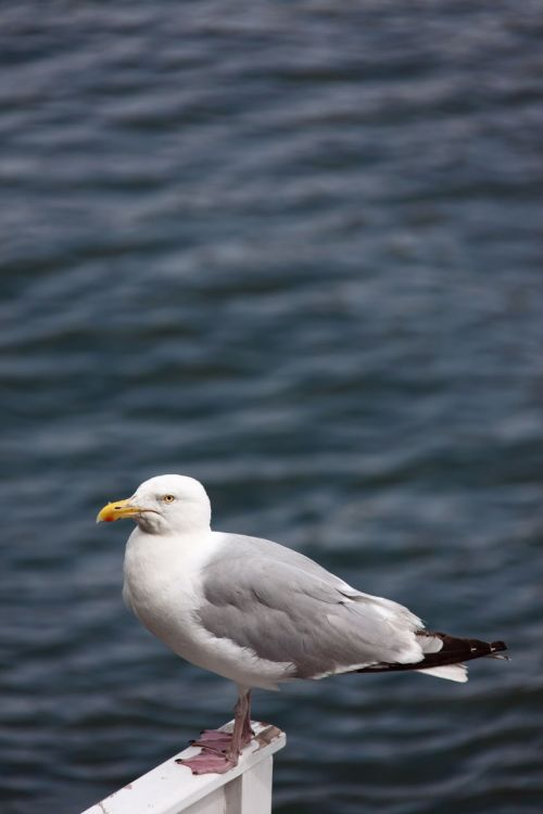 Seagull With Copyspace