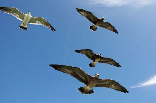 žuvėdros,skraidantis,dangus,gamta,jūra,paukštis,laukinė gamta,laisvė,laukiniai,kepuraitė,mėlynas,gyvūnas,oras,sparnai,plunksna,skrydis,lauke,debesys,skristi,sklandymas,saulėtas,antena,aukštas