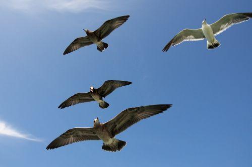 seagulls gulls seabird