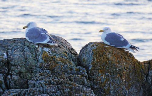 seagulls victoria bc