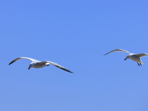 seagulls audouin's gull gavina corsa