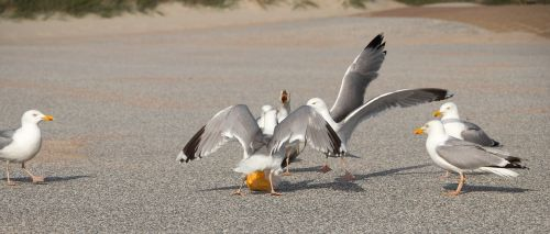 seagulls dispute bread