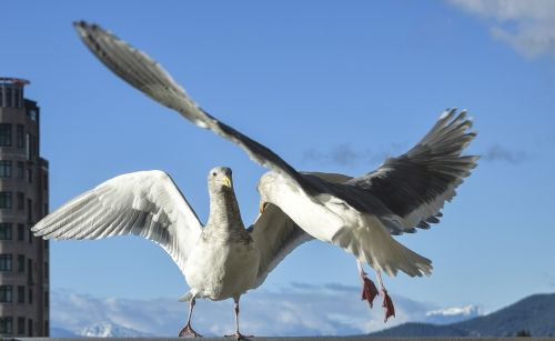 seagulls confrontation gulls