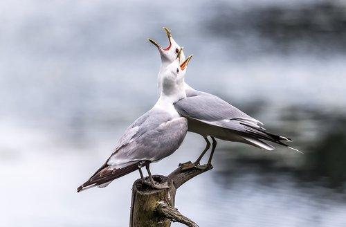 seagulls  screaming  lake