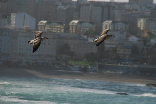 seagulls  riazor beach  la coruña