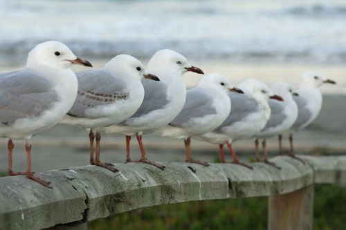 seagulls row perched