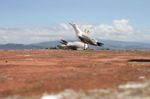 seagulls sky mount