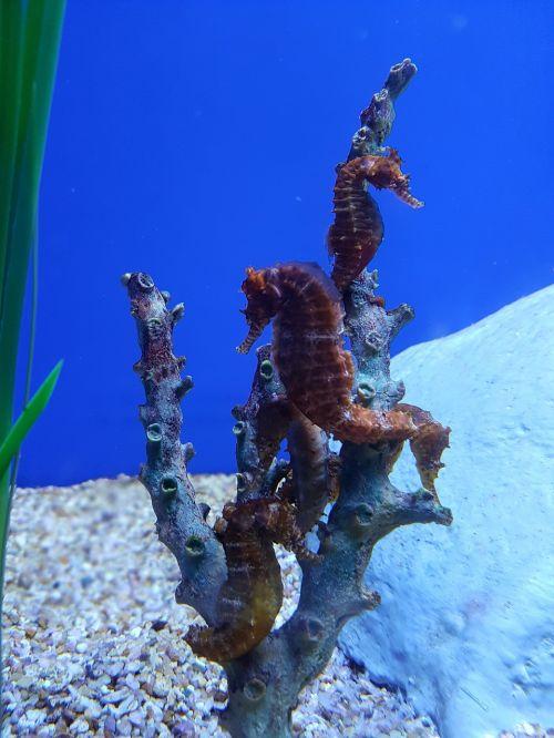 seahorse aquarium underwater