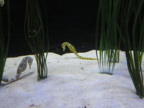 Seahorses In Aquarium
