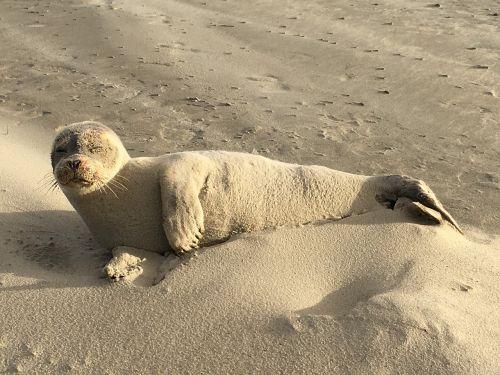 seal sand mammal