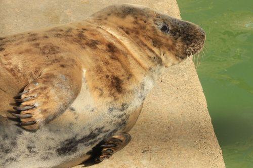 seal basking animal