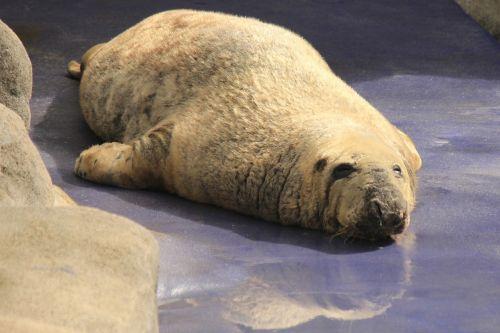 seal basking wildlife