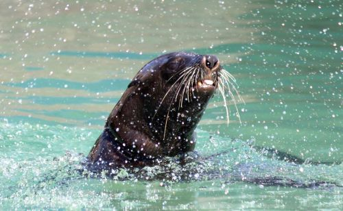 seal swim splash