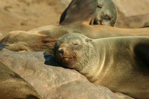 seal eared seal animal