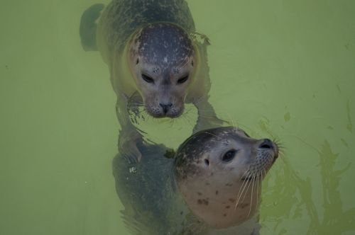 seal animal water