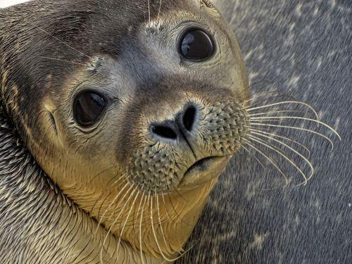 seal howler sad