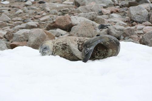 seal snow antarctic