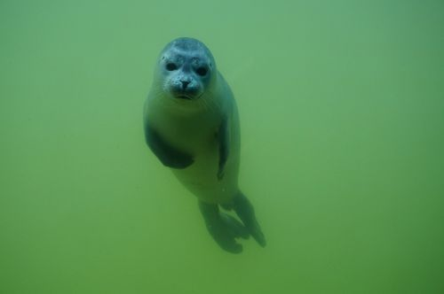 seal sea animal