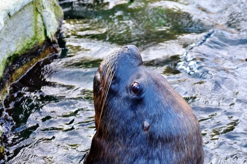 seal sea lion robbe