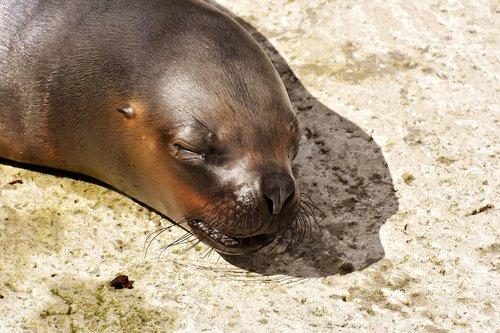 seal  sea lion  sleep