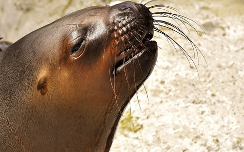 seal  sea lion  water