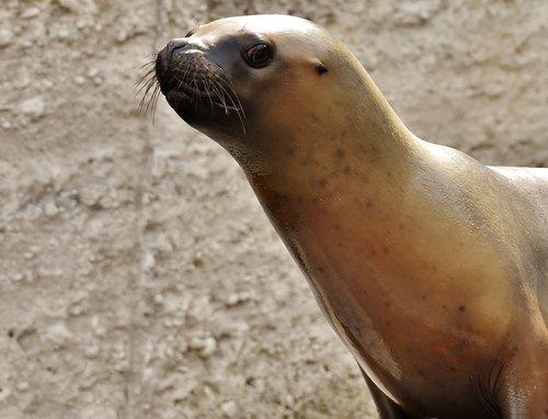 seal  sea lion  swim