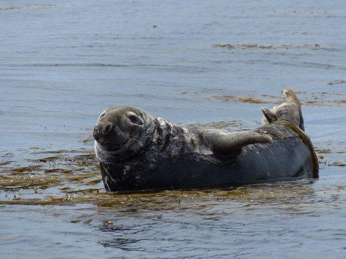 seal  wild animal  marine animal