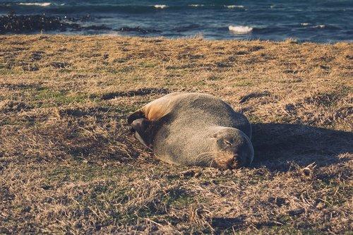 seal  fur seal  new zealand