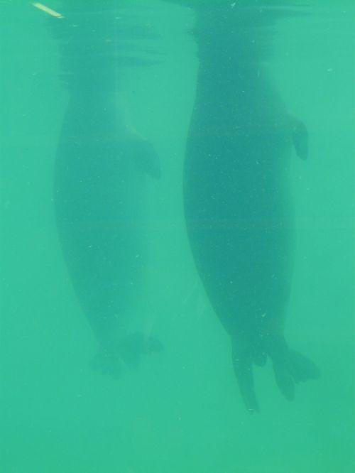 seal phoca vitulina robbe