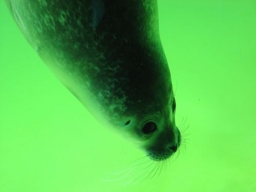 seal head snout