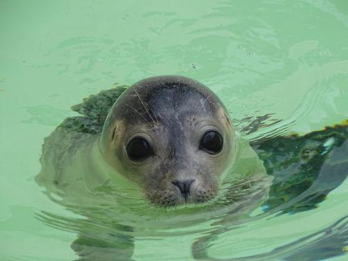 seal animal mammal