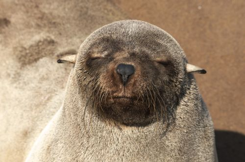 seal pelts robbe seal