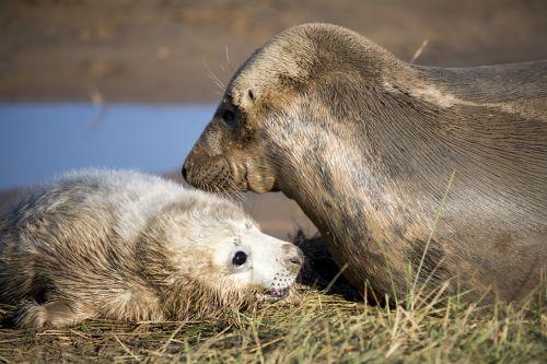 seal pup seals wildlife