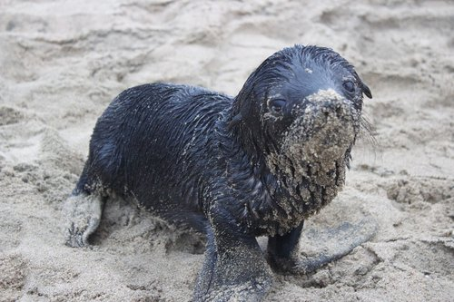 seal pup  sand  young