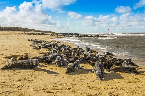 seals beach north sea