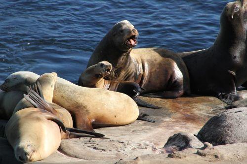seals sea lions ocean