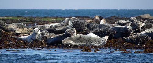 seals grey seal atlantic grey seal